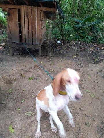 Cachorro Beagle - Foto 2