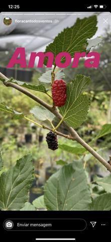 Mudas frutíferas - Foto 5