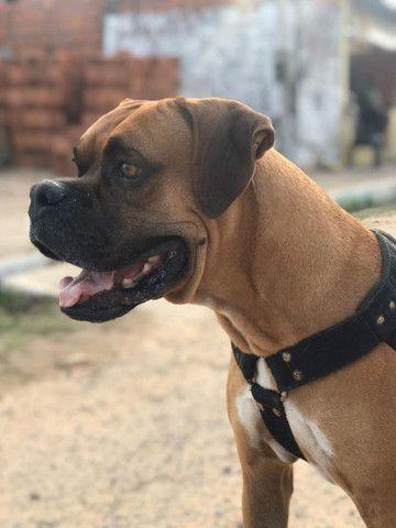Boxer, disponível pra cruzar