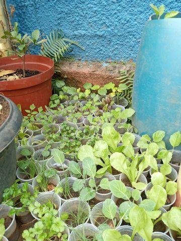Vende se muda de cebolinha organica - Foto 2