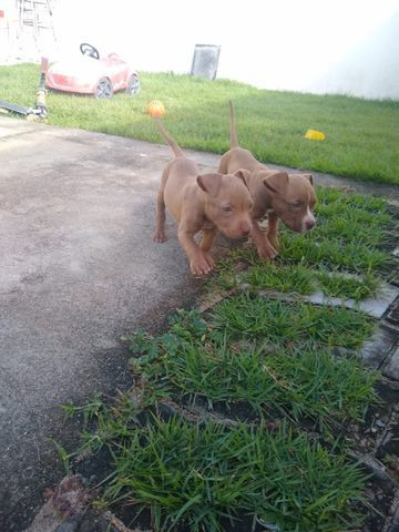 2 filhotes pitbull red nose - Foto 4