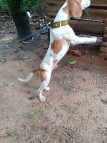 Cachorro Beagle - Foto 3