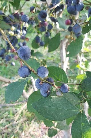 Mirtilos (Blueberry) congelados - Foto 2