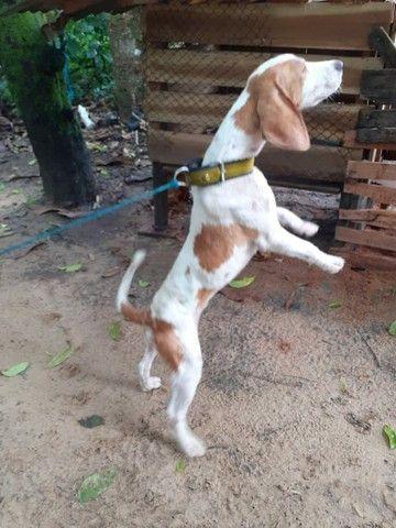 Cachorro Beagle - Foto 4