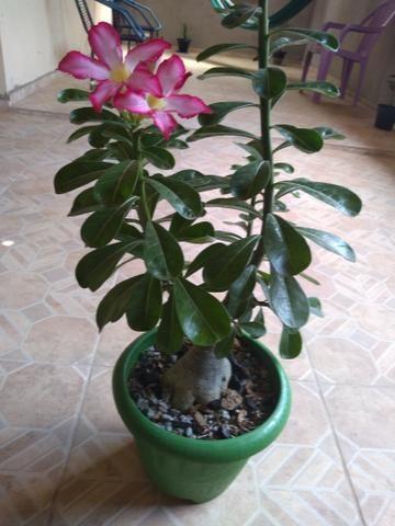 Rosa do deserto 40 reais - Foto 2