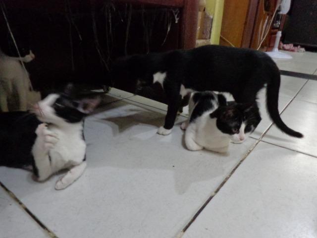 Doação Gato filhotes saudáveis - Foto 3
