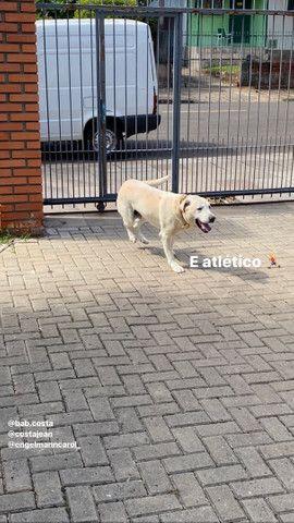 Labrador Macho: para fazer filhotes.  - Foto 4