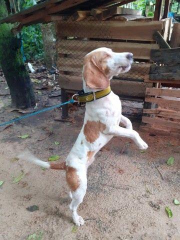 Cachorro Beagle - Foto 6