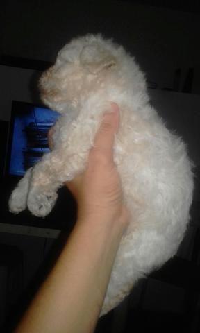 Poodle Micro Zero Legitimo