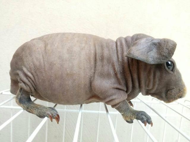 Porquinho skinny (espécie de porquinho da india raro)