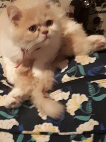 Gato Persa para Doação