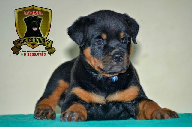 Vendendo vario s cães de raças 989293730