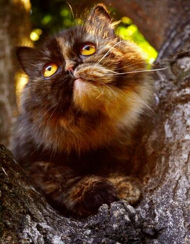 Lindos filhotes de persa
