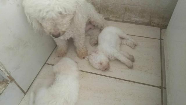 Filhotes de poodle originais com 40 dias pai e mãe no local