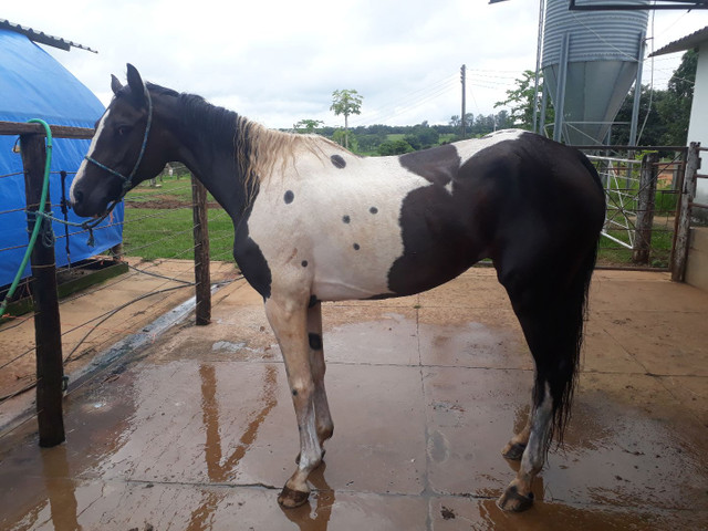 Égua paint domada 6 anos - Foto 2