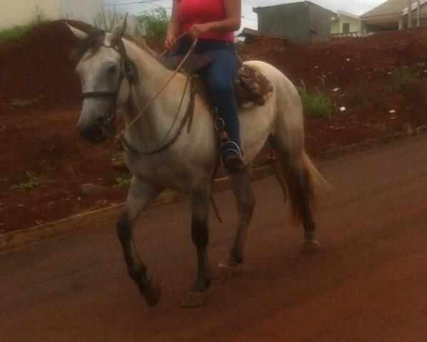 Cavalo Percheron x Crioulo
