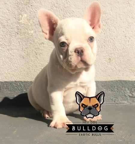 Bulldog frances blue platinum - Foto 2