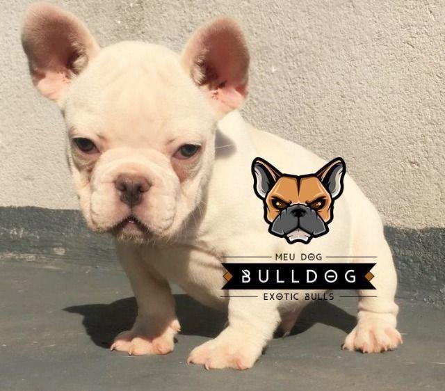 Bulldog frances blue platinum