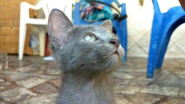 Lindas gatinhas filhotes para adoção. - Foto 4
