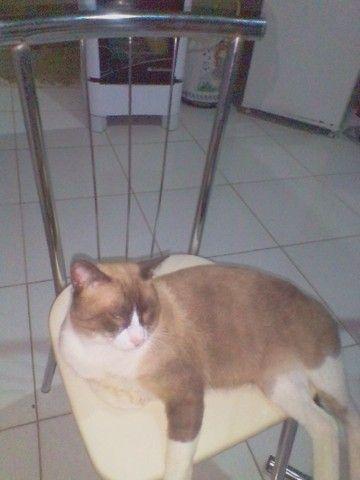 Gatinho siamês - Foto 3