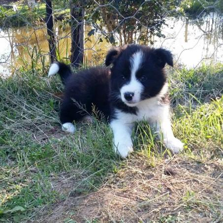 Border Collie macho com pedigree