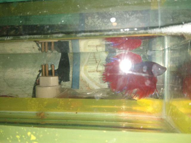 """Halfmoon bicolor,BB gigante de 4 meses, e um """"vovô"""" selvagen .  - Foto 6"""