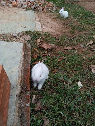 Vende-se coelhos R$ 35,00. Em Ji-Parana - Foto 5