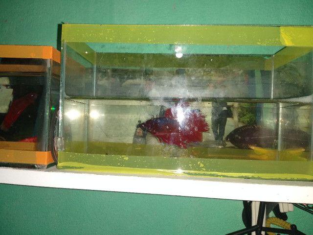 """Halfmoon bicolor,BB gigante de 4 meses, e um """"vovô"""" selvagen .  - Foto 2"""