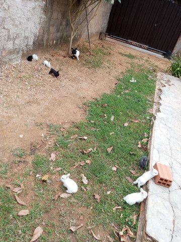 Vende-se coelhos R$ 35,00. Em Ji-Parana