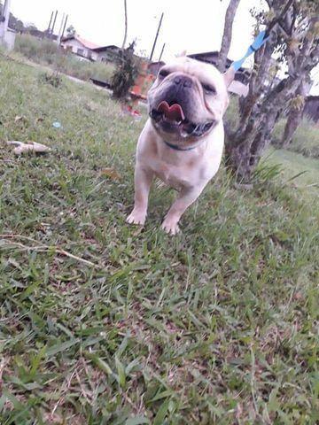 Bulldog Francês  (Procura namorada para cobertura) - Foto 4