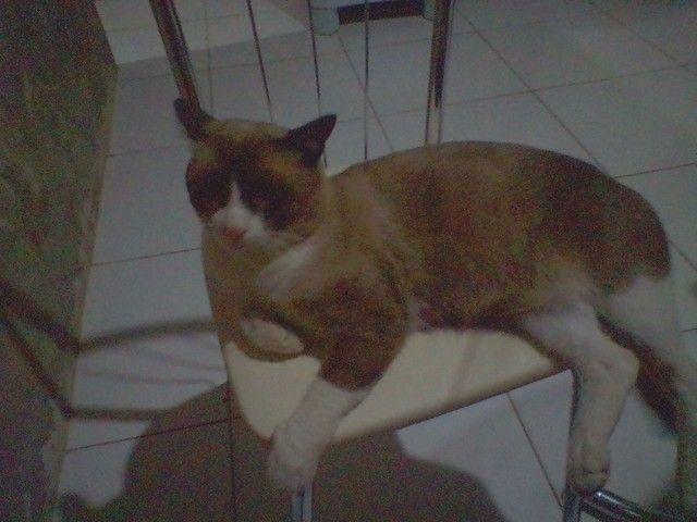 Gatinho siamês - Foto 5