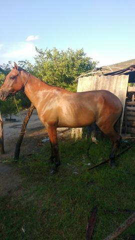 Cavalo bachero vendo ou troco, só não troco em outro cavalo