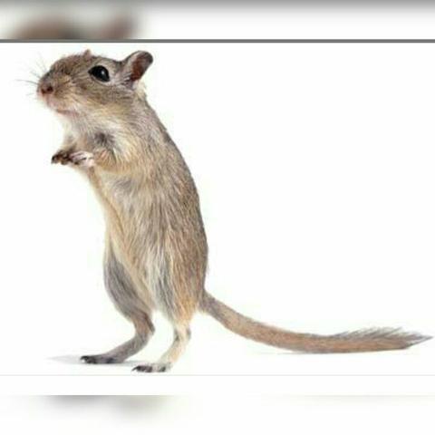 Hamster raça esquilo e topolinos