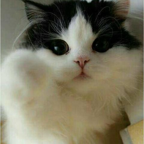 Gatinhos Persas Pet