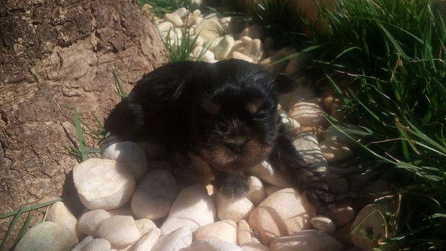 Filhotes de YORKshaire terrier anão de bolsa - Foto 3