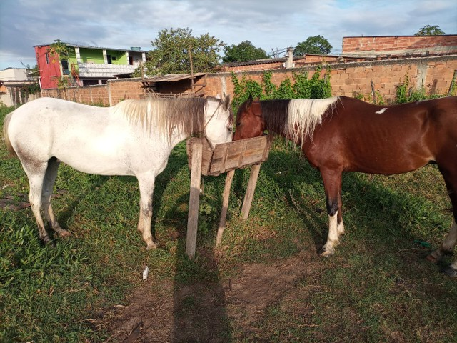 Cavalo pampa  - Foto 5