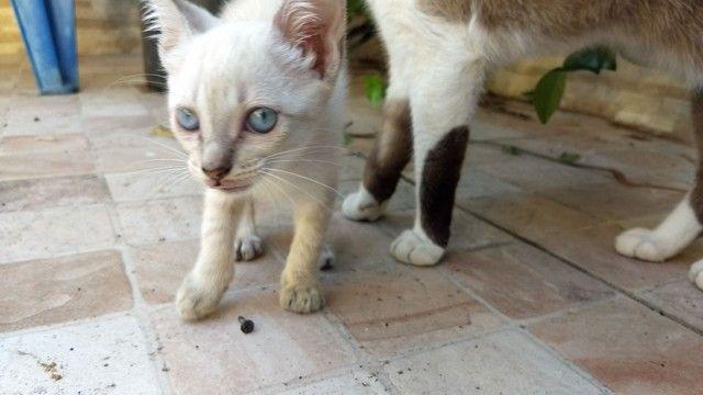 Lindas gatinhas filhotes para adoção. - Foto 2