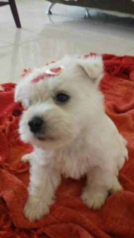Vende-se filhotes de West Highland Terrier