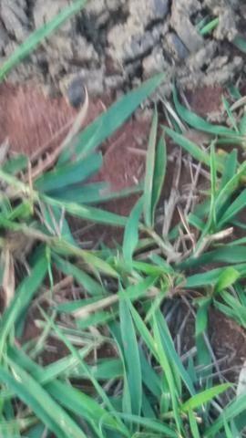 Fazenda de 114 alqueires - Aparecida do Taboado-MS-F090219 - Foto 8