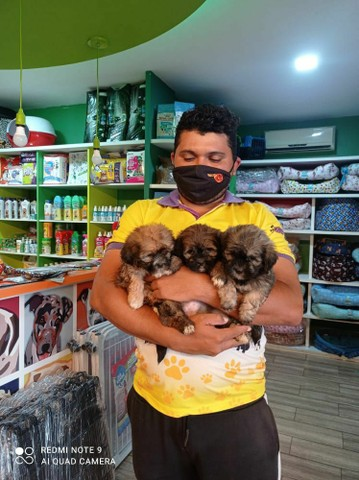 Babys Lhasa porte pequeno