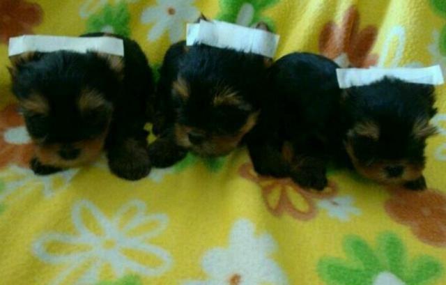 Filhotes de Yorkshire Terrier Mini
