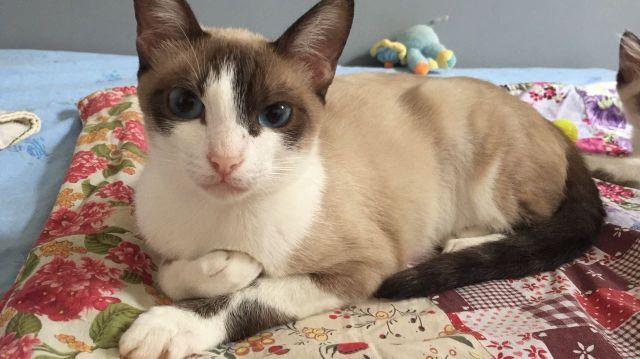 Gatinha branca bege filhote 7meses castrada vacinada vermifugada adoção São Paulo e região