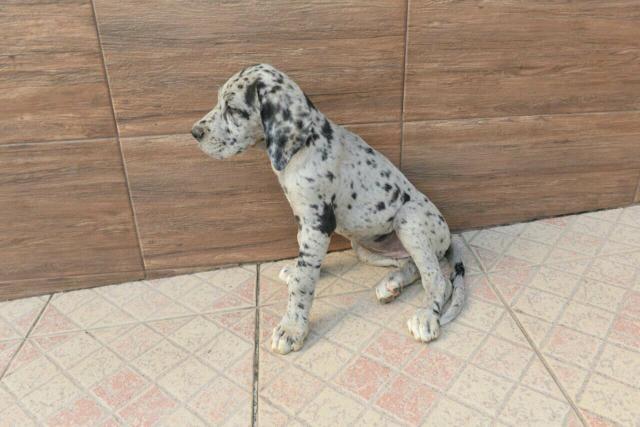 Filhotes de dog alemão com pedigree