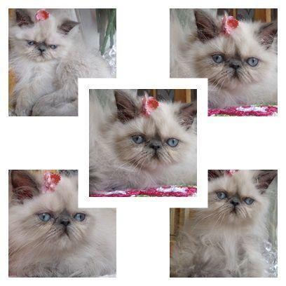 Lindos Filhotes de Gatos Persa e Himalaia