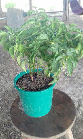 Mudas de pimenta de cheiro - Foto 2