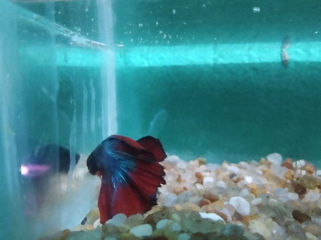 """Halfmoon bicolor,BB gigante de 4 meses, e um """"vovô"""" selvagen .  - Foto 4"""