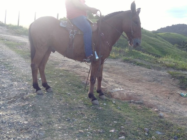 Vendo excelente burro de patrão Aceito mangalarga marchador  na troca  - Foto 6