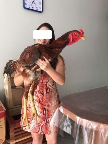 Indio Gigante . (O nelore da Avicultura ) Ariquemes - RO