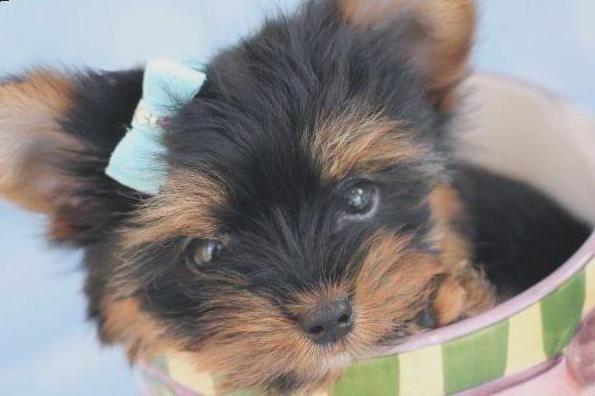Belissimos filhotes de Yorkshire Terrier