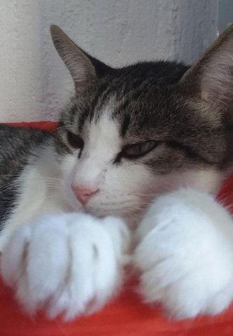 Gatinha castrada para adoção - Foto 5
